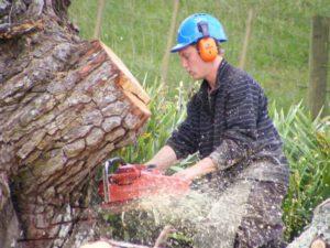 Redwood tree removal