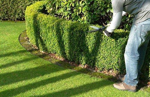 How to trim a hedge Auckland NZ