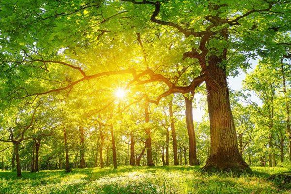 Beautiful oak trees NZ