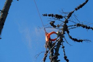 Horticultural Abseiling and Tree Climbing Services