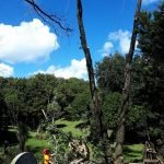 elm tree removal auckland